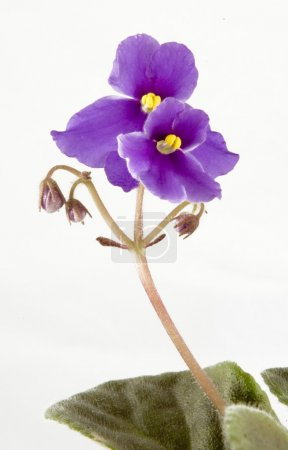 Photo pour Fleur violette - image libre de droit