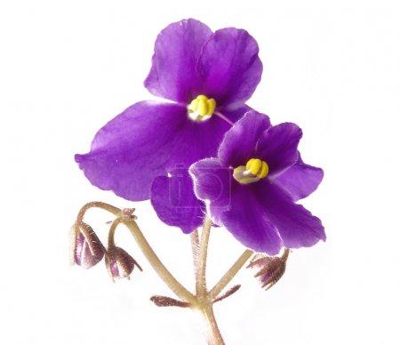 Photo pour Violet sur blanc - image libre de droit