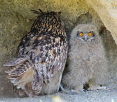 Chick and adult eagle owl (bubo bubo)