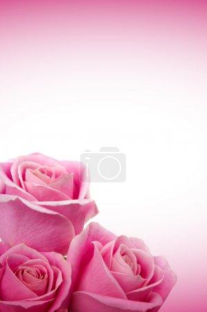 Foto de Hermosas rosas - Imagen libre de derechos