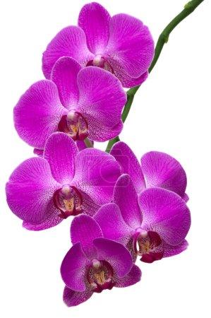 Photo pour Belle orchidée tropicale - image libre de droit