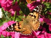želvovina motýl