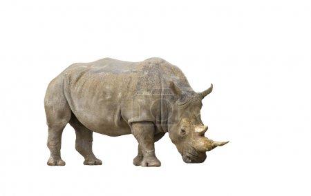 Photo pour Un portrait isolé d'un rhinocéros adulte - image libre de droit