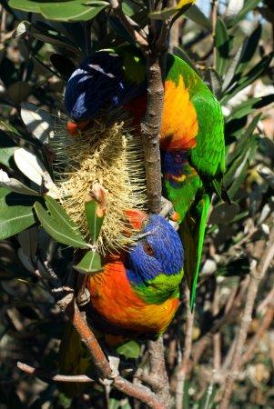 Photo pour Loriquet arc-en-ciel coloré mangeant le nectar d'une fleur indigène australienne - image libre de droit