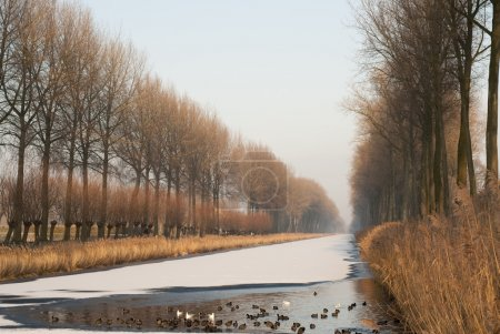 Photo for Water birds keep swimming to preserve a hole in the frozen Damse Vaart bordered by poplars, near Bruges - Royalty Free Image