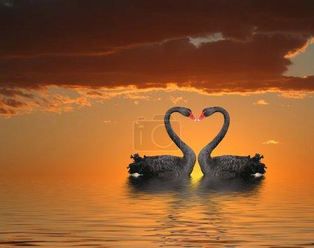 Photo pour Deux cygnes romantiques au coucher du soleil avec réflexion de l'eau - image libre de droit