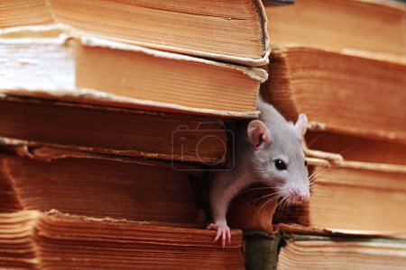 Rat in library