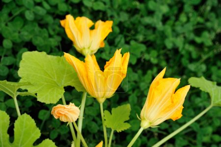 Squash flower and leaves
