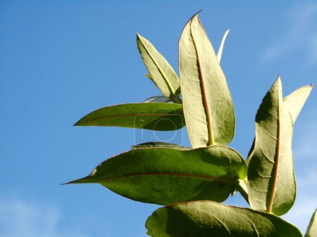 Photo for Eucalyptus - Silver Drop - Royalty Free Image