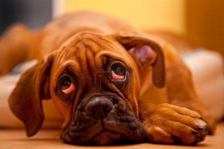 Photo for German Boxer - lonely puppy dog laying on the floor with sadness in eyes - Royalty Free Image