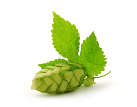 Detail of hop cone