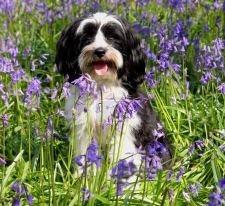 Cute long haired dog in a field of blueb