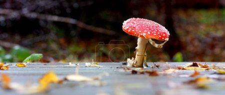 Photo for Wild red mushroom growing through deck - Royalty Free Image