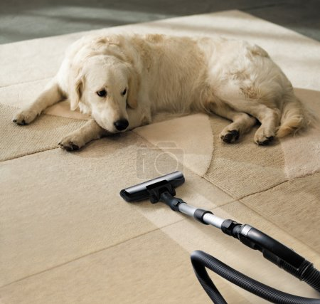 Photo for The dog lies on the beige carpet and looks at vacuum cleaner - Royalty Free Image