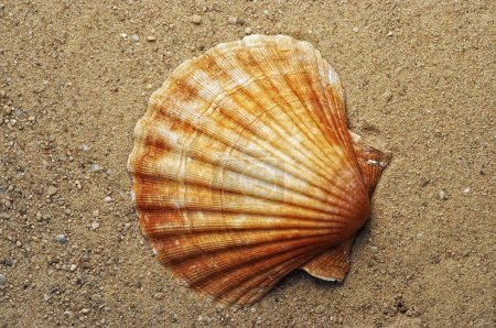 Photo for Detail of the sea shell on the sand - Royalty Free Image