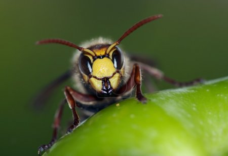 Close-up (macro) of a giant hornet...