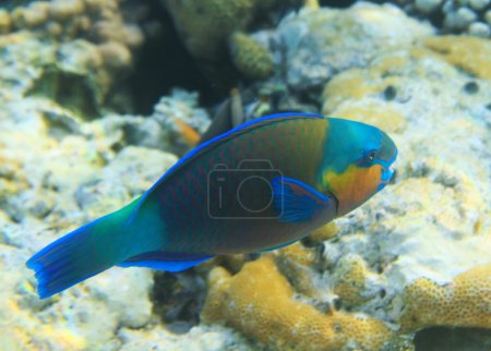 Buttlehead parrotfish