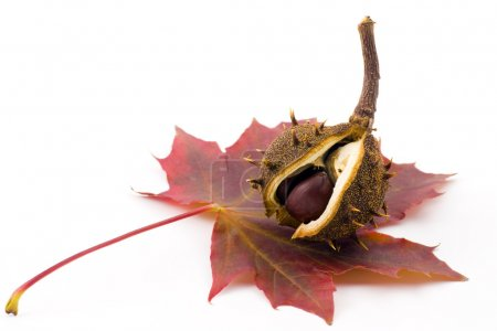 Photo for Newborn autumn chestnut over leaf - Royalty Free Image