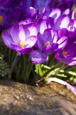 Photo pour Fleur de crocus pourpre sur la prairie de printemps - image libre de droit