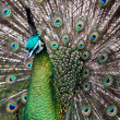 Male Green Peafowl (Peacock) - Pavo muticus - from...