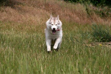 Siberian husky running on a grass