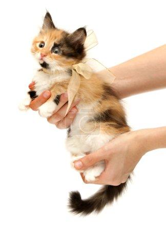 Kitten tied in a bow in hand