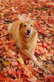 Az őszi golden retriever