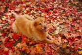 Smiling Dog in Autumn Leaves