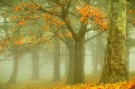 arbres matin brumeux d'automne