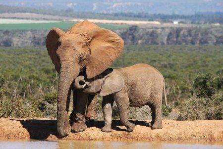 Photo pour Éléphant d'Afrique mère et bébé dans un trou d'eau - image libre de droit