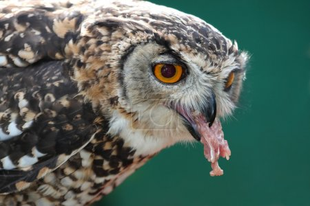 Spotted Eagle Owl Eating