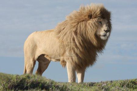 Photo pour Magnifique lion blanc mâle avec une énorme crinière - image libre de droit