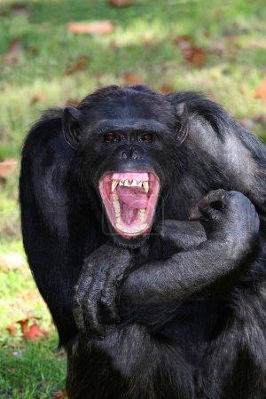 Chimpanzee Teeth