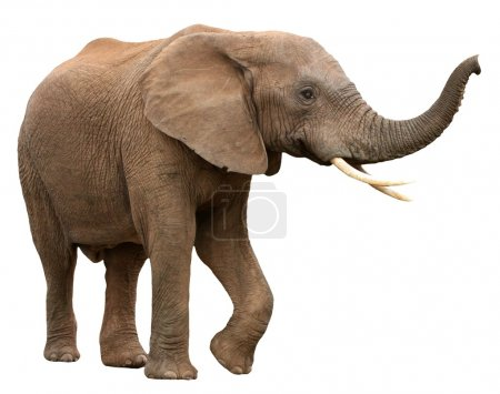 Large male African elephant with long curved tusks...