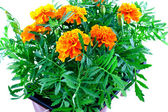 Bright orange marigolds in plastic pots
