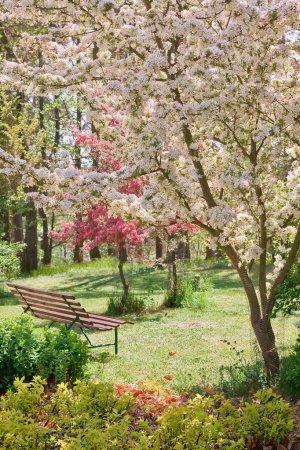 Photo pour Arbre de beauté en fleur avec banc au printemps - image libre de droit