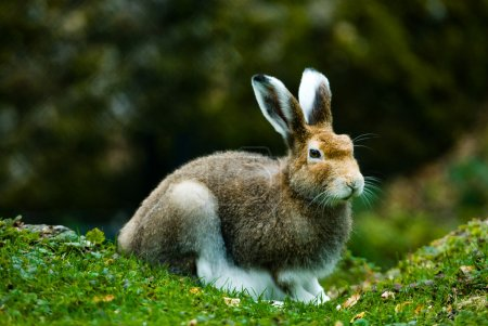 Photo for Mountain hare (lat. Lepus timidus) in autumn sitting in the woods, focus is on the eyes - Royalty Free Image