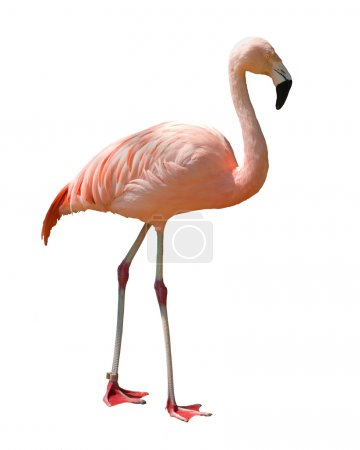 Isolated flamingo