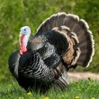 Wild turkey standing in green meadow