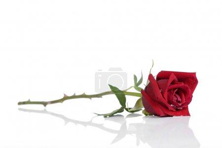 Photo pour Seule rose belle rouge, isolé sur blanc - image libre de droit