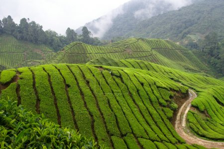 Photo for Asian tea plantage between mountain range with rain clouds in the back - Royalty Free Image