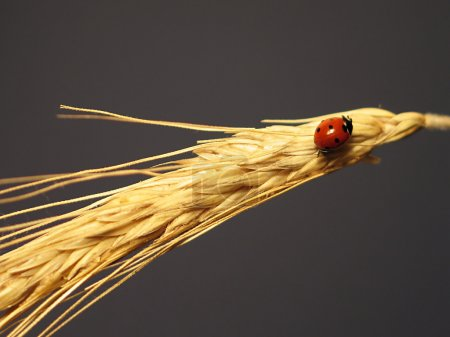 Ladybird on a stalk of wheat
