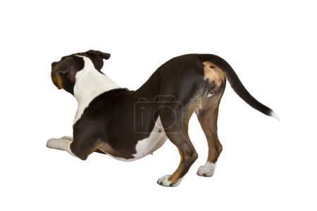 American staffordshire terrier lean