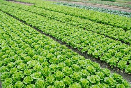 Farmland of lettuce