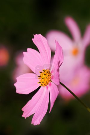 Pink cosmos flower over dark background...