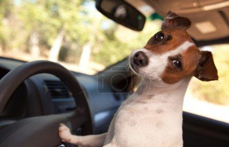 Photo pour Jack chien de terrier russell bénéficiant d'une promenade en voiture. - image libre de droit