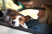 Jack Russell Terrier Dog Enjoys Car Ride