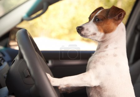Jack Russell Terrier Dog Enjoying Ride
