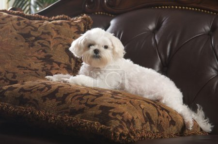 Maltese Puppy Relaxing on the Couch