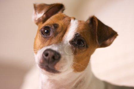 Photo pour Portrait d'un adorable Jack Russell Terrier . - image libre de droit